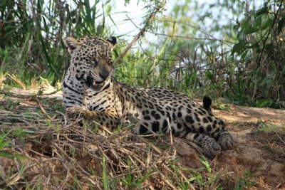 Pantanal Extreme Tour - Day 2 - Jaguar