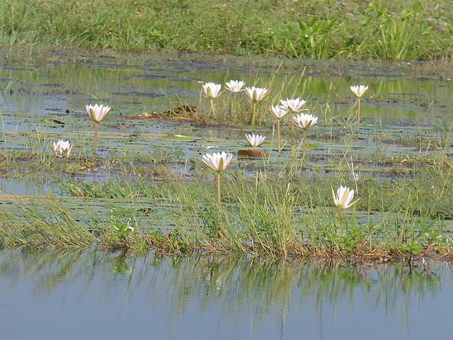 Yala scenery - lilies