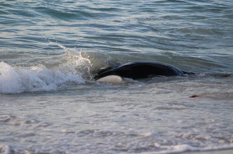 Hamelin Bay - Large Sting Ray