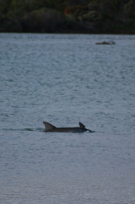Augusta by the river - Dolphins