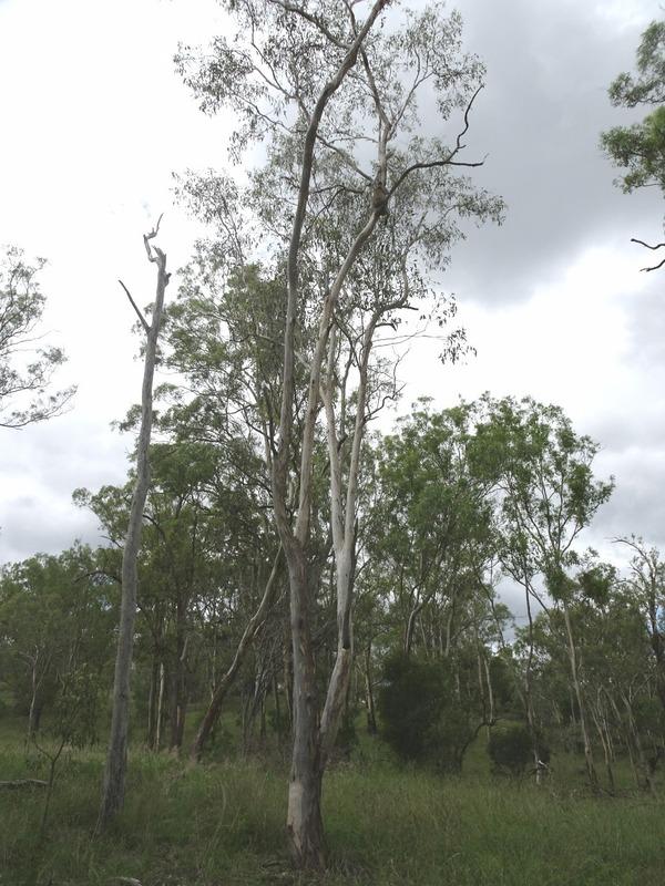 Cooby Dam area - spot the Koala!