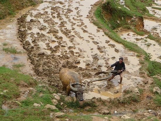 Ta Phin Trek - Buffalos at work 3