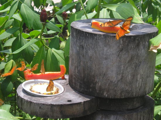 Belem - Local butterflies like fruit 1
