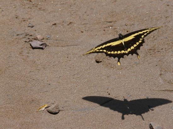Iguazu Argentina Wildlife Butterfly