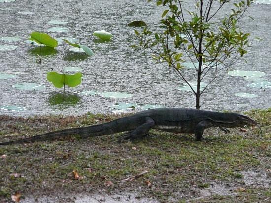 Wildlife near chalet - Monitor Lizard!