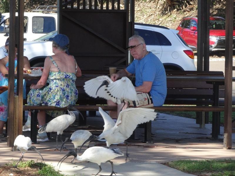 Shelley Beach - Scavenging Bald Ibises