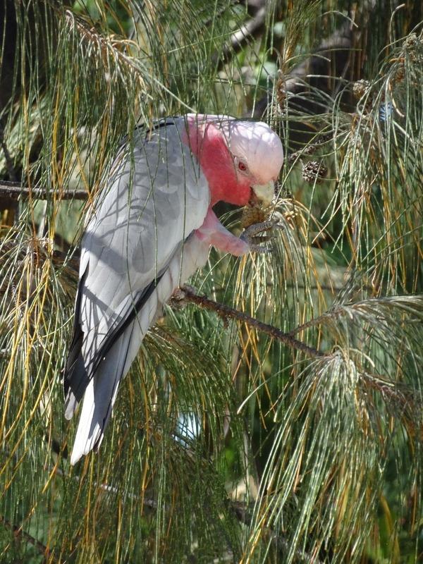 Local birdlife - Galah