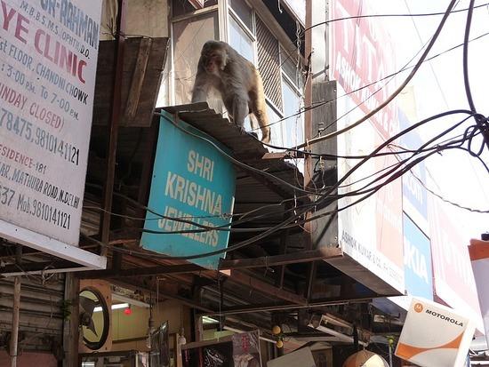 Old Delhi - Chandni Chowk - Monkey business!