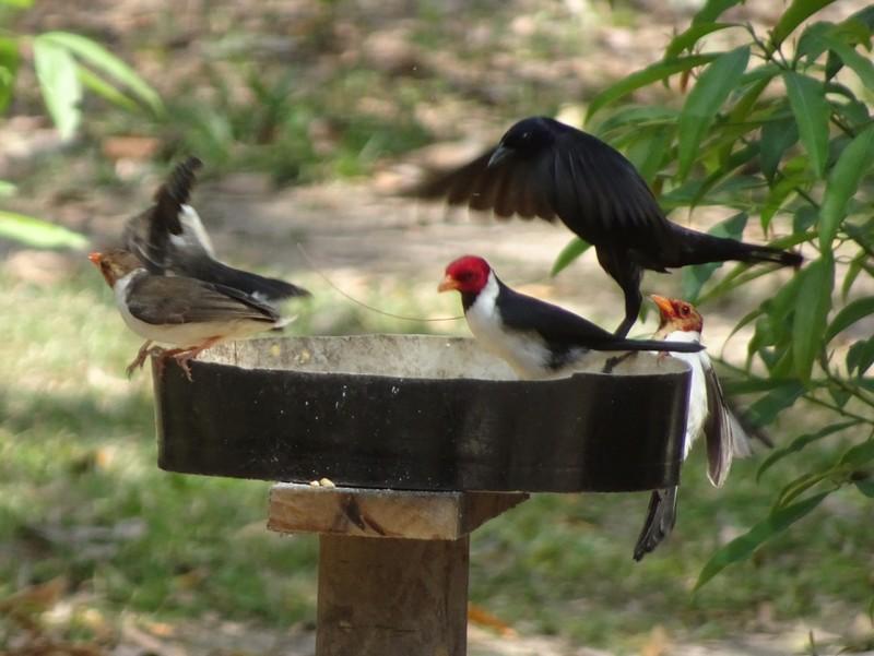 Pantanal Extreme Tour - Around the lodge - Yellow Billed Cardinals