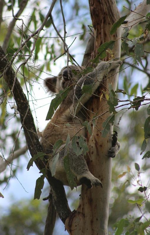 Cooby Dam area - Koala