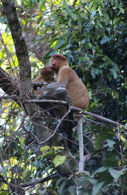 Proboscis Monkey - Mother and child