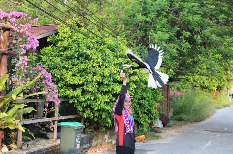Feeding the hornbills 2