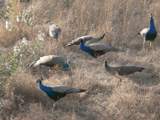 Views from bedroom - Peahens and babies