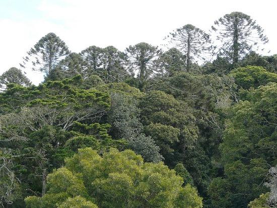 Bunyas Trip - Bunya Trees