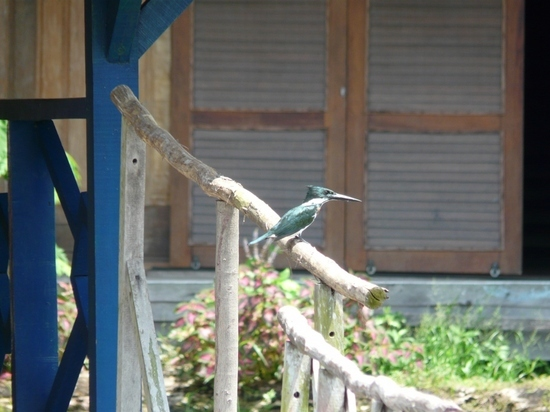 Uacari Lodge - Kingfisher
