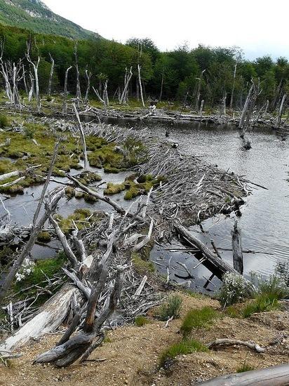 Day 2 - TdF Nat Park - Beaver dam!