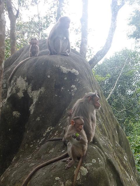 Edakal Caves - descent - Macaque Monkeys