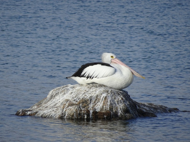 Augusta by the river - Pelican