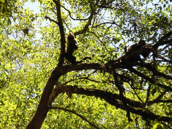 Iguazu Argentina EcoTrip Cappuchin Monkeys 1