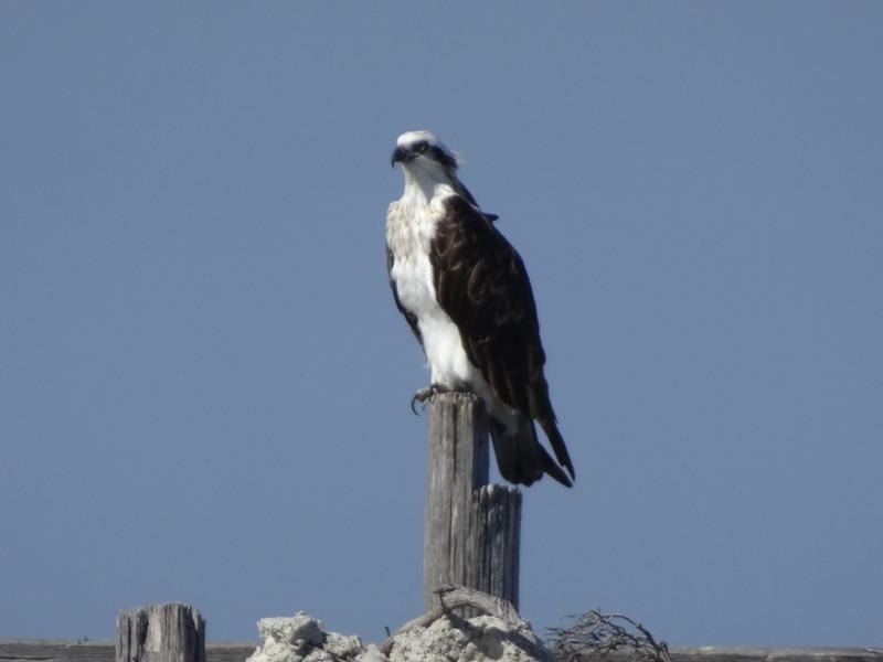 Rottnest - Osprey