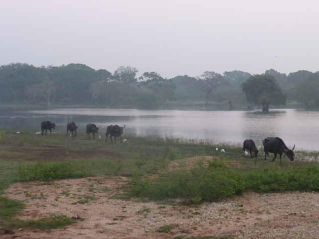 Wild Water Buffaloes plus Cattle Egrets
