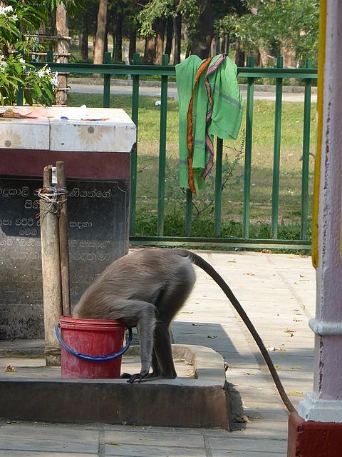 Kataragama - thirsty Lemur monkey