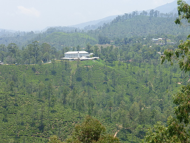 Newburgh Tea Plantation from Little Adam's Peak