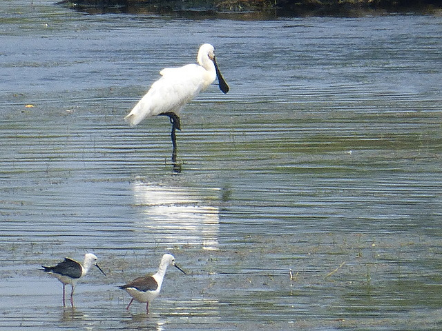 Spoonbill and black winged stilts