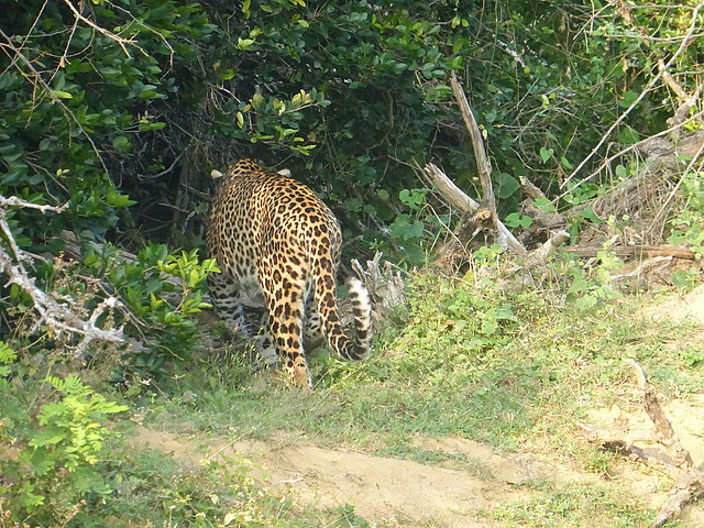 Leopard (female) 3