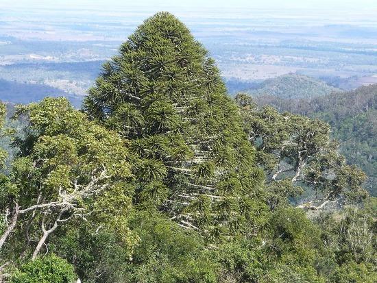 Bunyas Trip - Bunya Tree