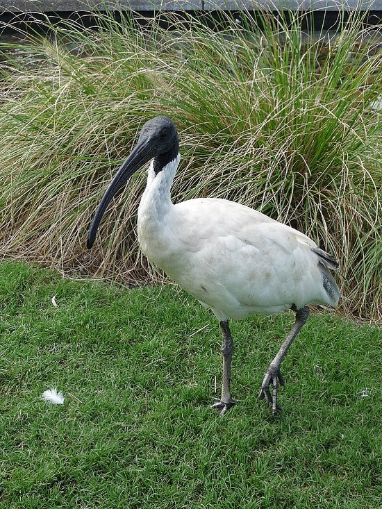 Local Ibis - not that pretty really!