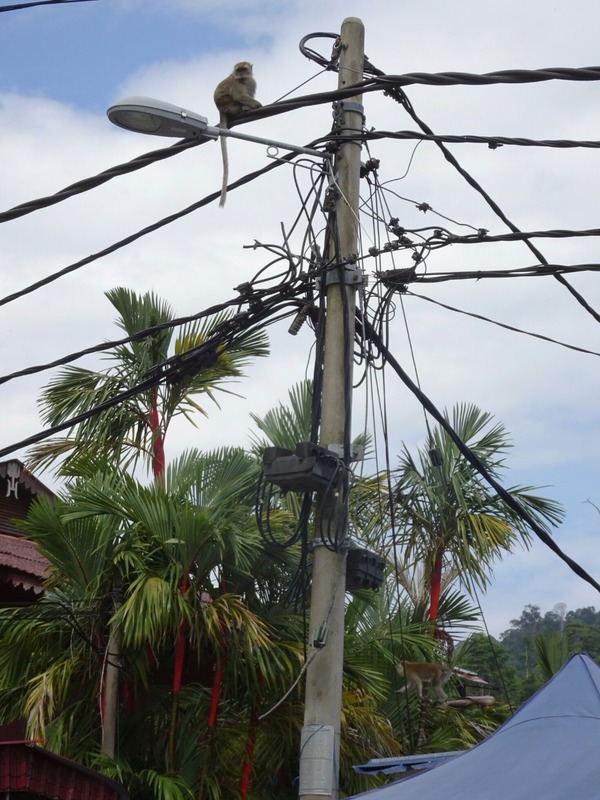 Teluk Nipah road - Monkey on wires