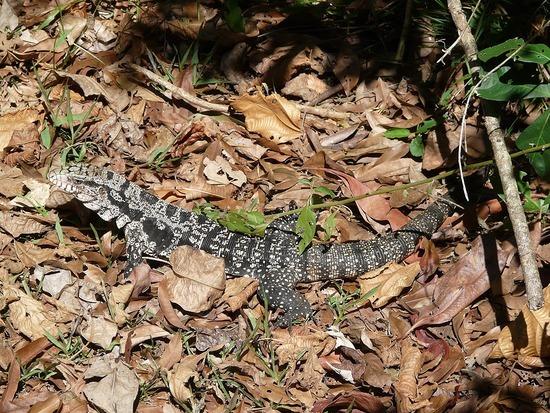 Iguazu Argentina Wildlife Iguana
