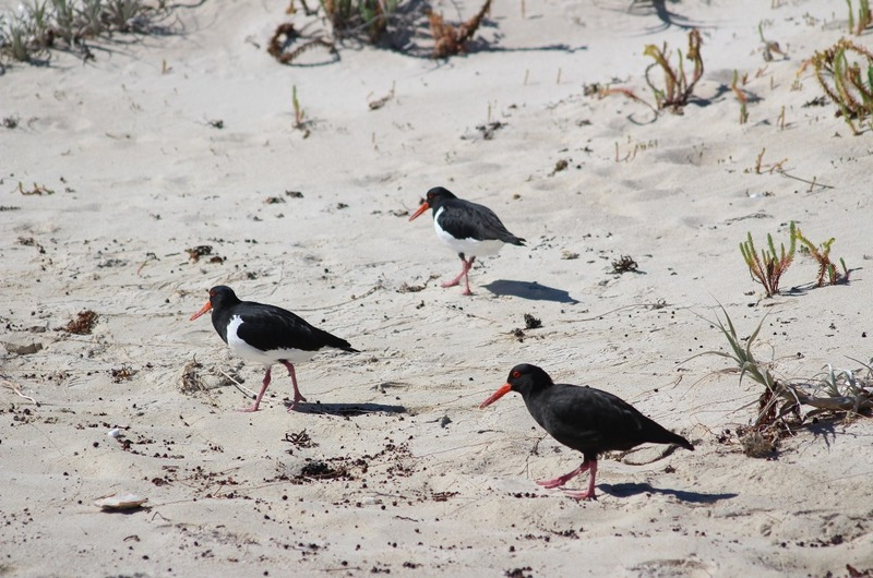 Redgate Beach - Pied and Black Oystercatchers