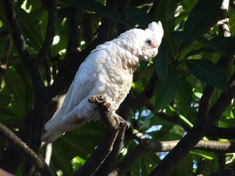 Local birdlife - Cockatoo