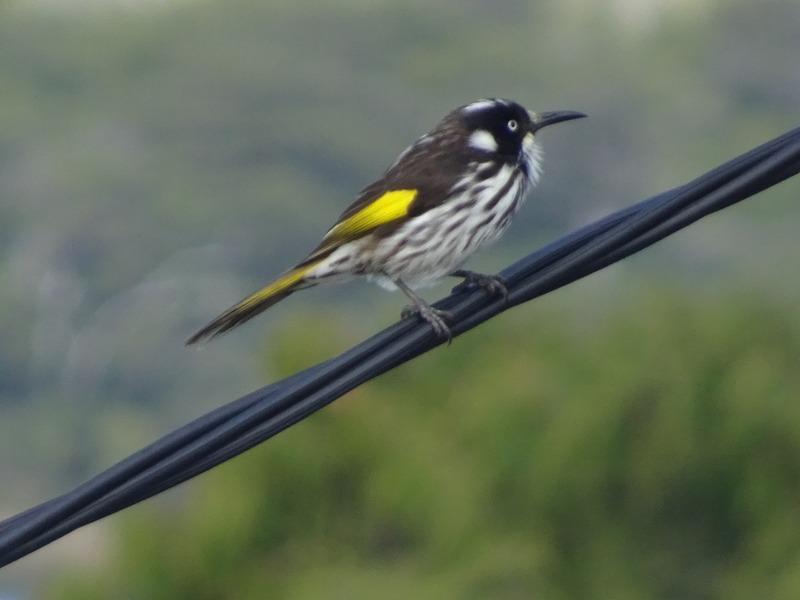 Birds in the garden - Silvereye