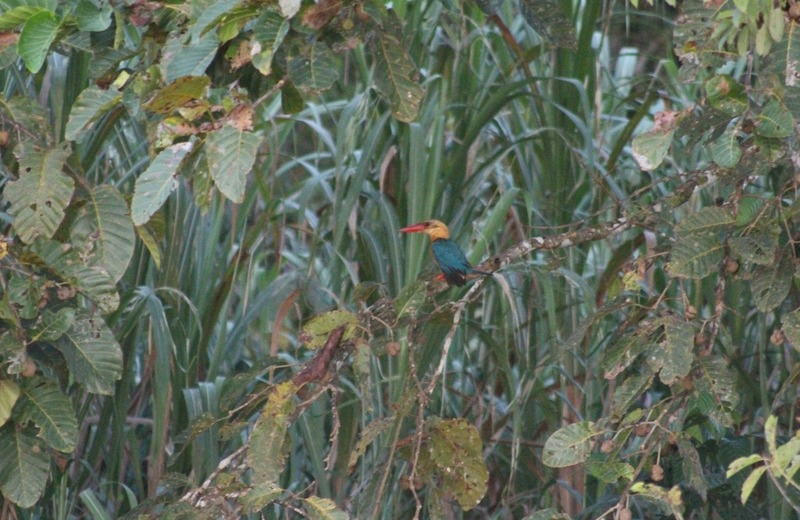 Stork-billed Kingfisher amidst foliage