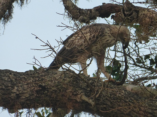 Changeable Hawk Eagle eating prey (snake?)