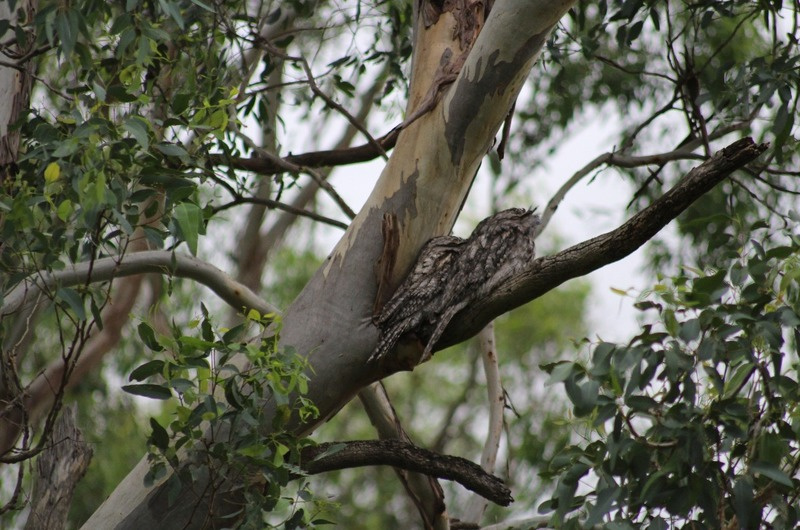 Cooby Dam area - Frogmouths - (Owls)