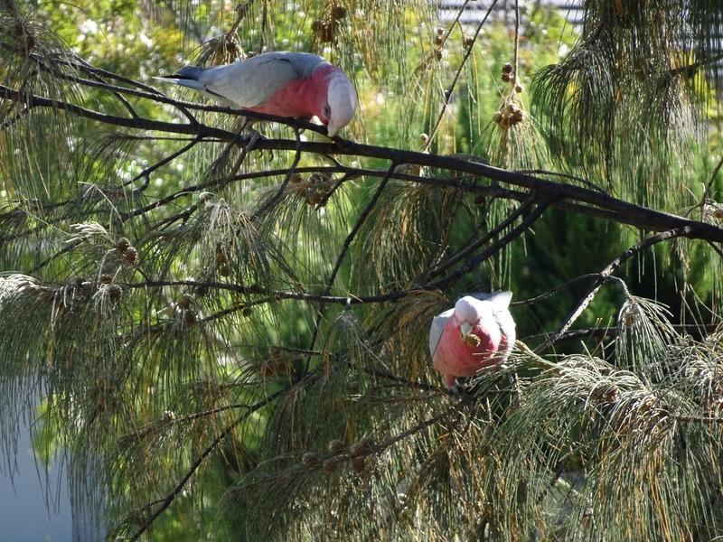 Local birdlife - Galahs