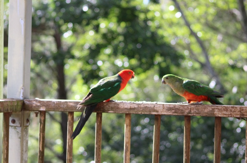 King Parrot (Male and Female)