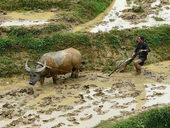 Ta Phin Trek - Buffalos at work 2