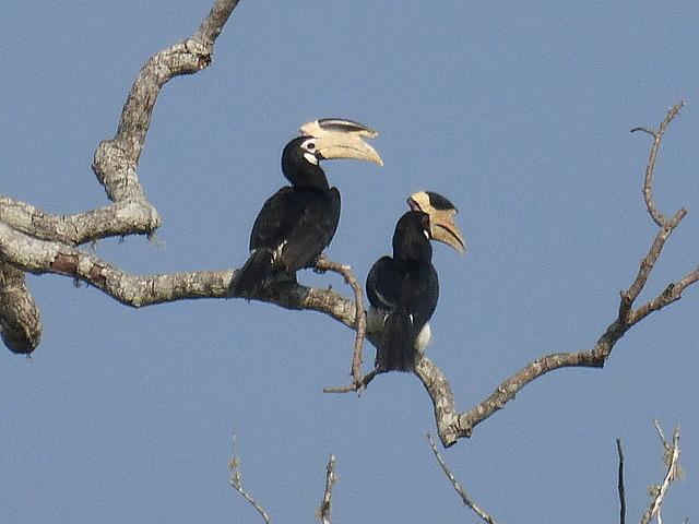 Malabar Pied Hornbills