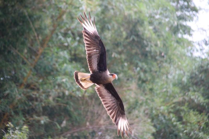 Pantanal Extreme Tour - Day 3 - Southern Caracara