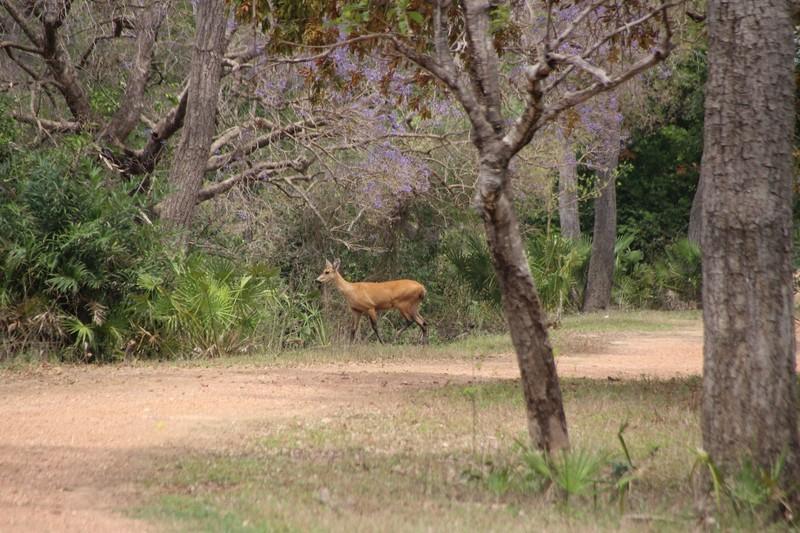 Deer near the lodge