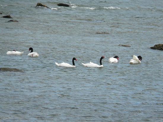 Puerto Natales - Black Necked Swans