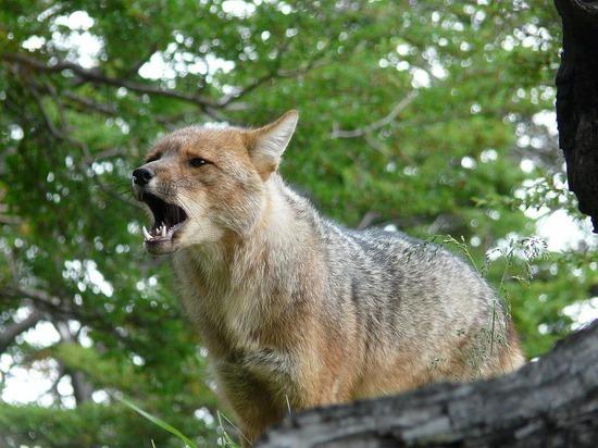 Torres del Paine trip - Foxy lady 2