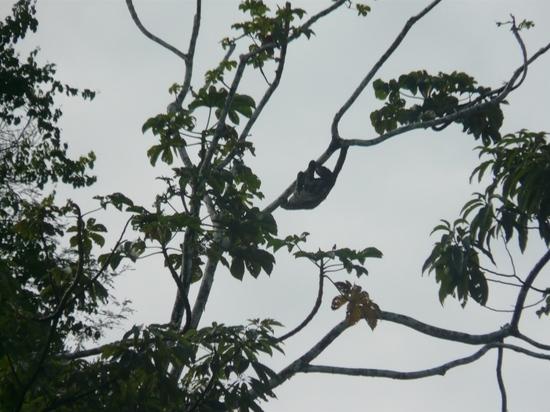 Mamiraua Wildlife - Hyperactive sloth 2