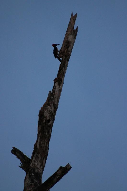Woodpecker - last sighting before dark