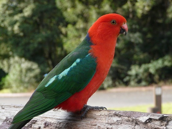 Bunyas Trip - King Parrot